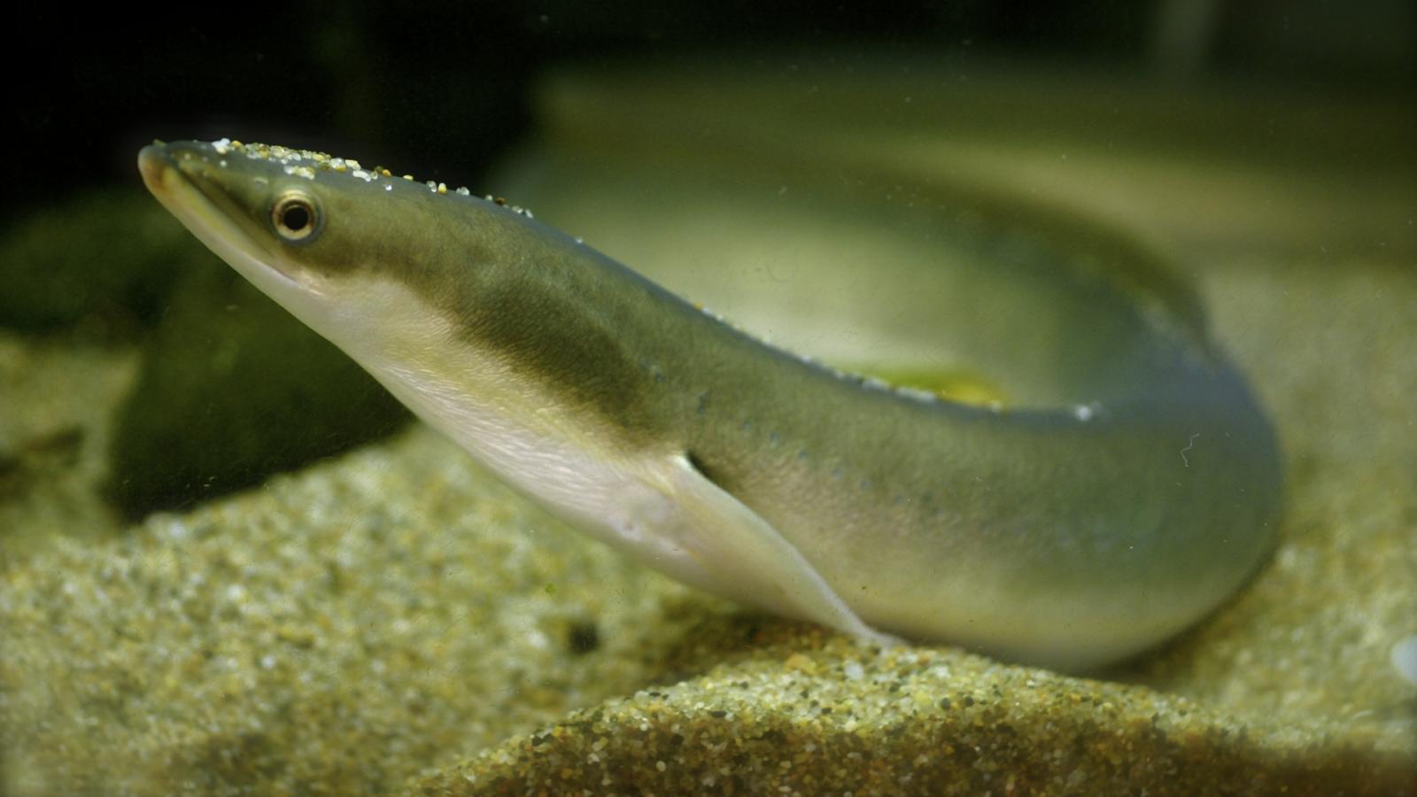 Freshwater fish korea - Freshwater Fish Korea