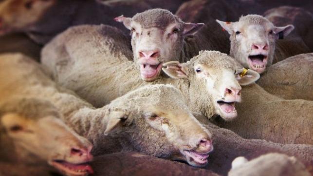 file photo of panting sheep courtesy of Animals Australia