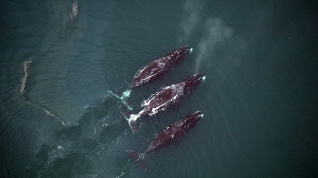 Photo by Cynthia Christman, National Marine Fisheries Service: Bowhead whales rise to the surface while feeding.