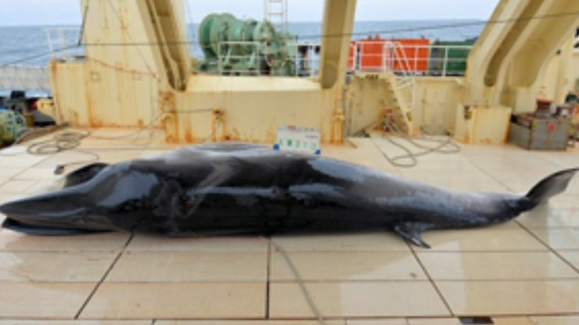 Credit: Japanese Institute of Cetacean Research