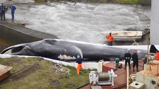 Iceland Delays Whaling Permit