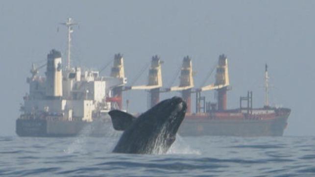speeding ships endangering whales